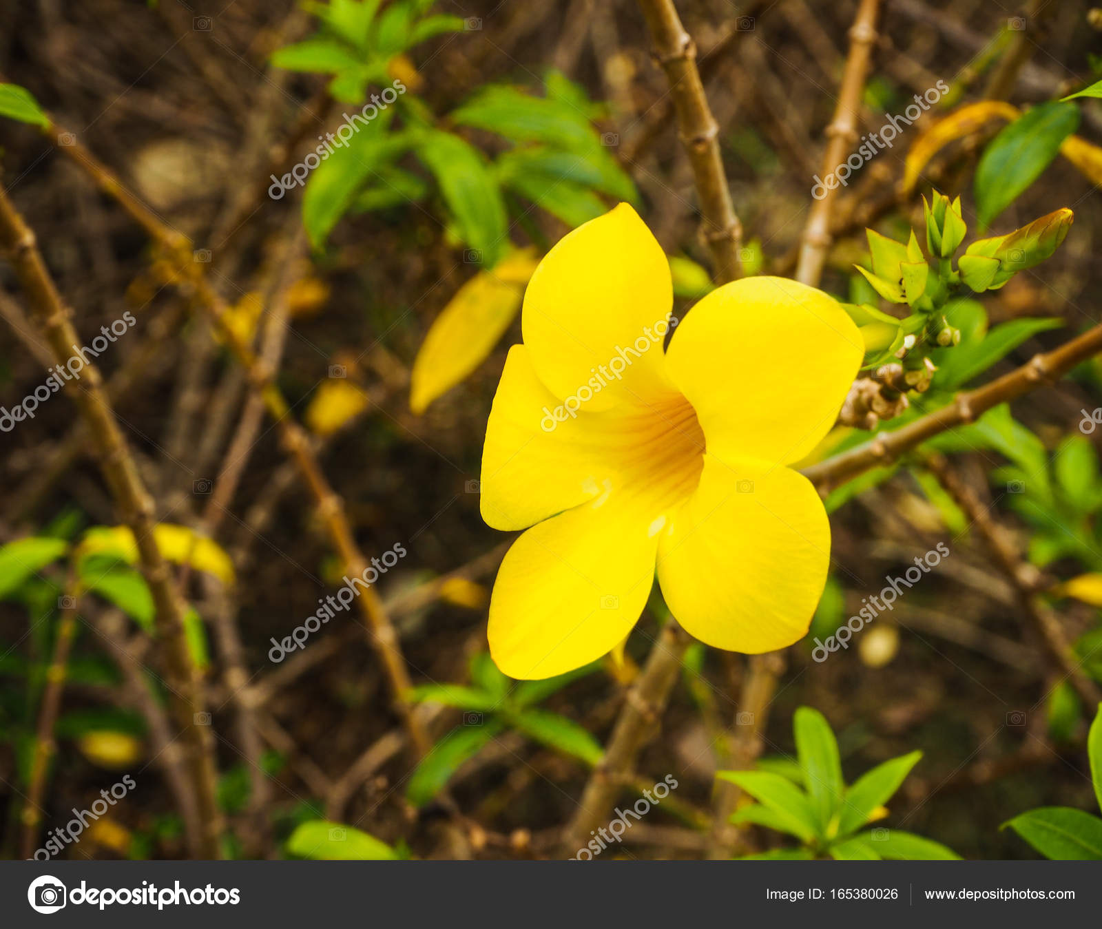 Golden Trumpet Vine Yellow Plant In The Garden Stock Photo