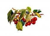 Delicious ripe sweet red sweet cherries
