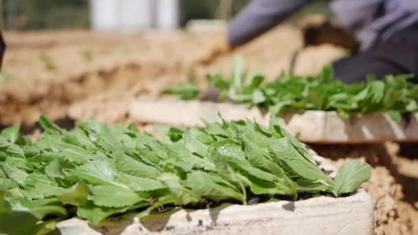 Egy farmer káposzta palántákat ültet egy hagyományos öntözésű mezőn. Zöldségek, biogazdálkodás. Mezőgazdaság és agráripar. Kézvetés és terménygondozás. Munkavállalók vonzása a gazdaságokba