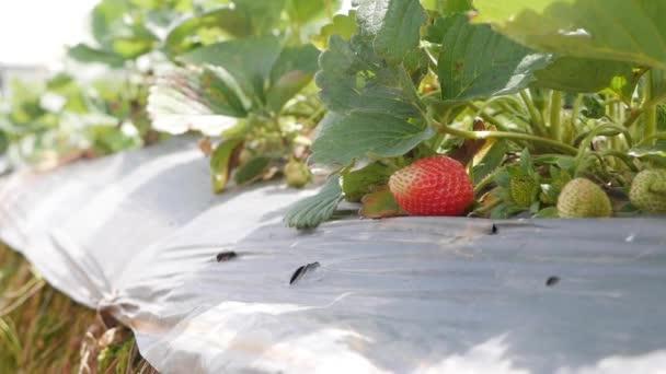 Červené a zelené jahody na zahradním lůžku. Ekologické zemědělství. Zemědělství a agrobyznys. Ruční setí a osetí