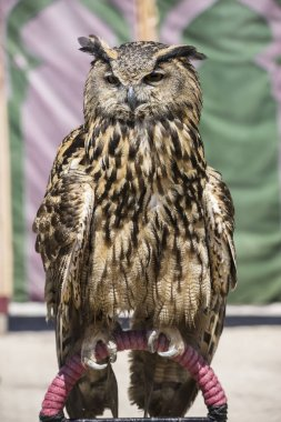 Beautiful owl with plumage of earthy colors