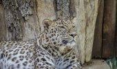 Danger, Powerful leopard resting, wildlife mammal with spot skin