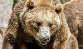 Fotografie Predátor, krásná a chlupatý medvěd hnědý, savec