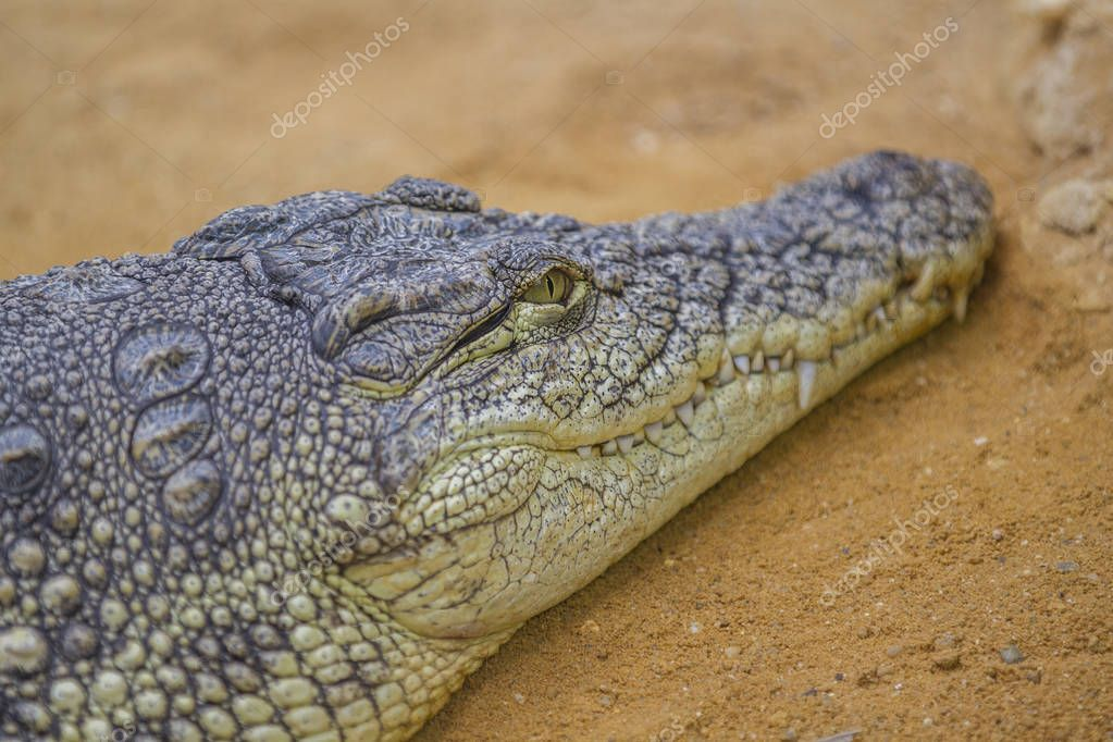 Closeup of a crocodile , Crocodiles are large aquatic reptiles that live throughout the tropics in Africa, Asia, the Americas and Australia.