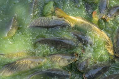 Crowd of many freshwater fish hungry such as catfish, snakehead fish, snake fish and other scramble for eat a food in river when feed