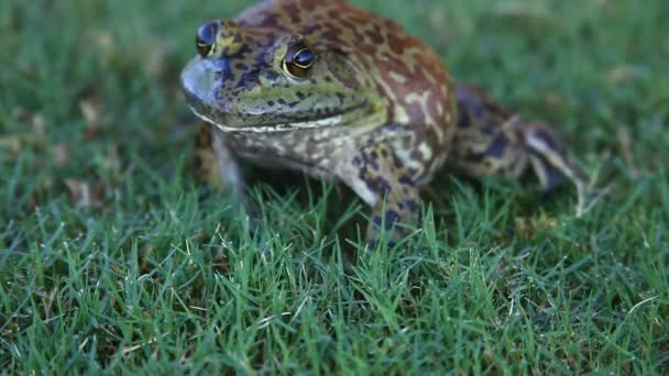 Hatalmas Bullfrog a fűben