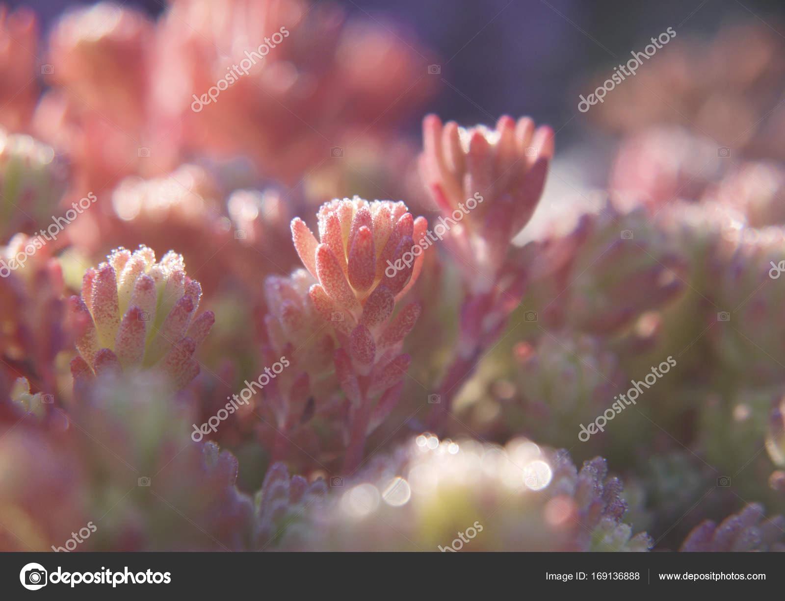 A Close Up Of Pink Leaves Of Spanish Stonecrop Sedum Hispanicum