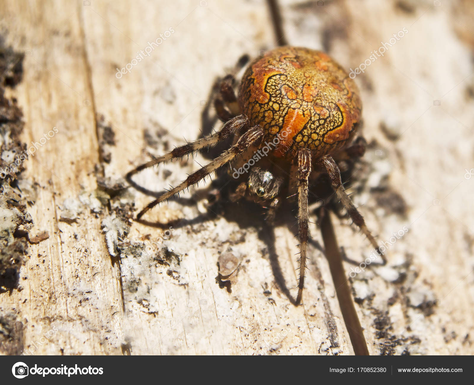 Marbled orb-weaver on a wood surface in the sunlight — Stock Photo ...