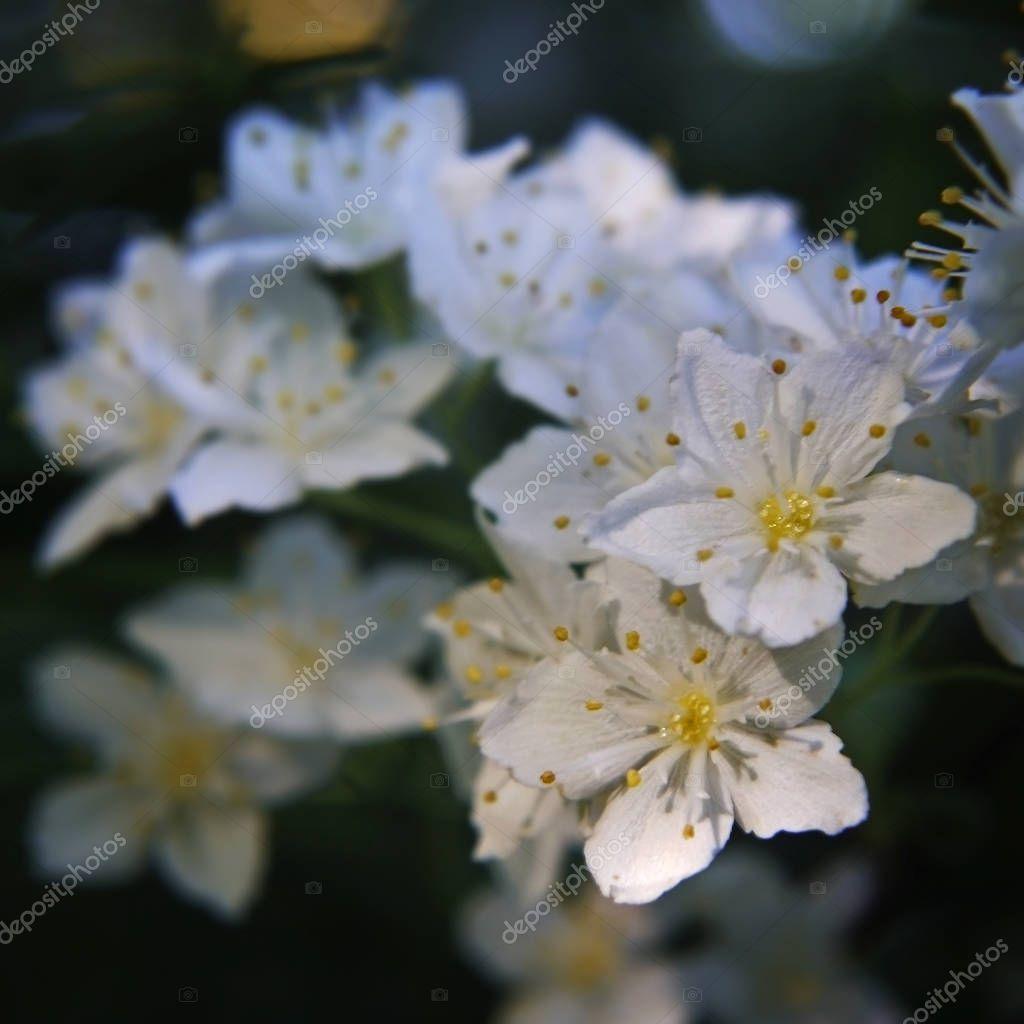 White beautiful flowers with yellow stamens