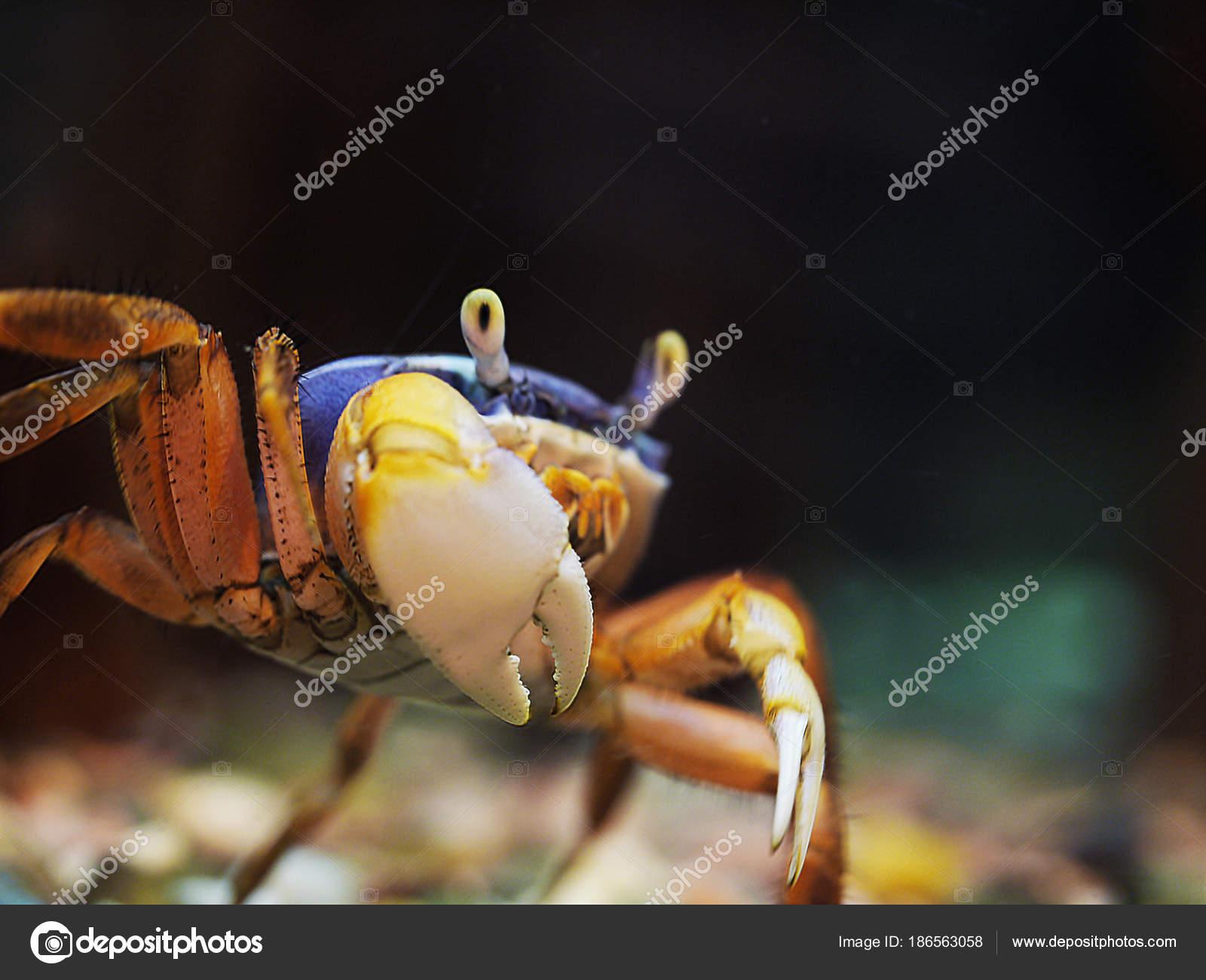 Un cangrejo de arco iris de color azul y rojo muestra su garra ...