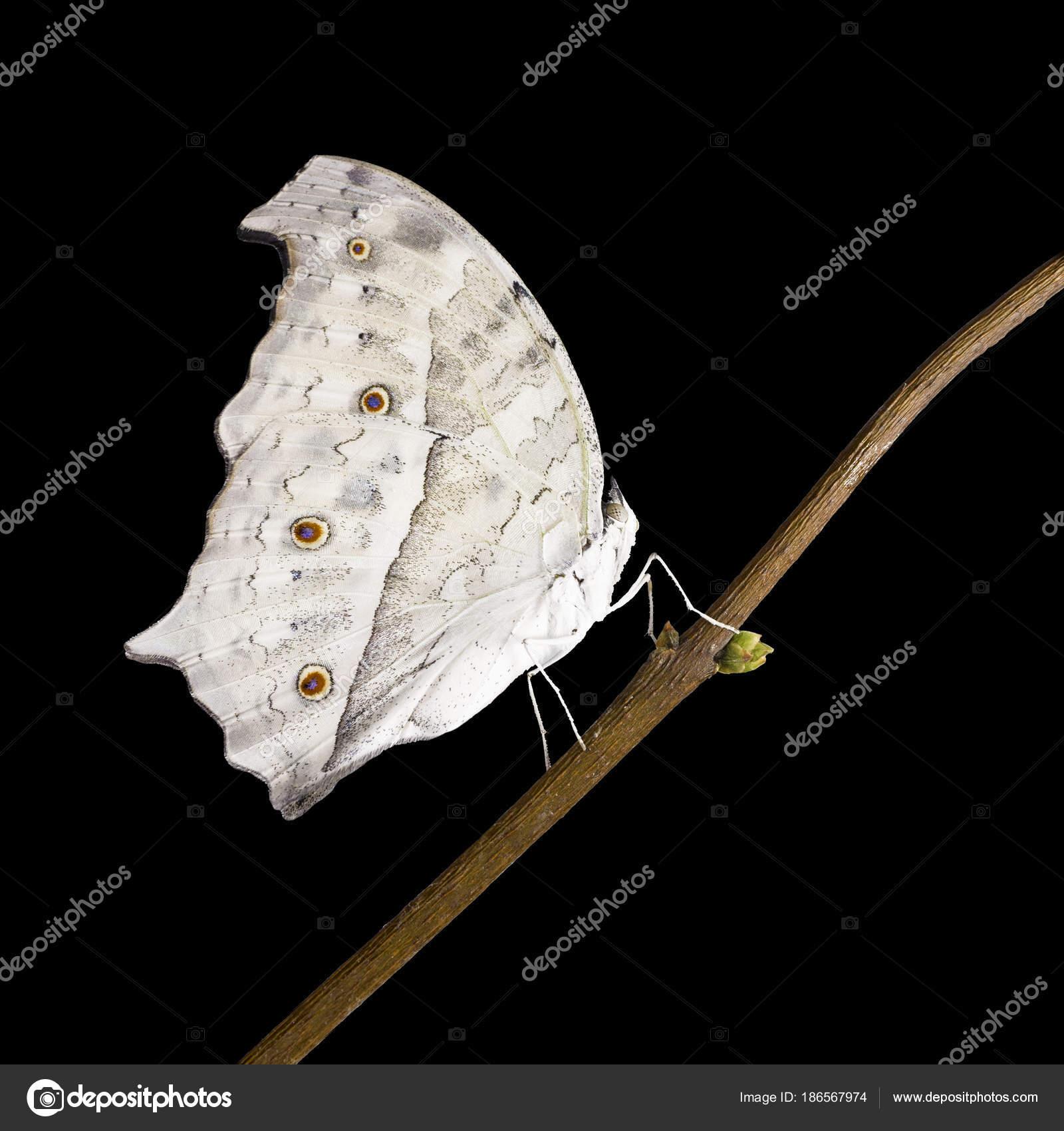 264c51c6cdf5 La mariposa de nácar de bosque