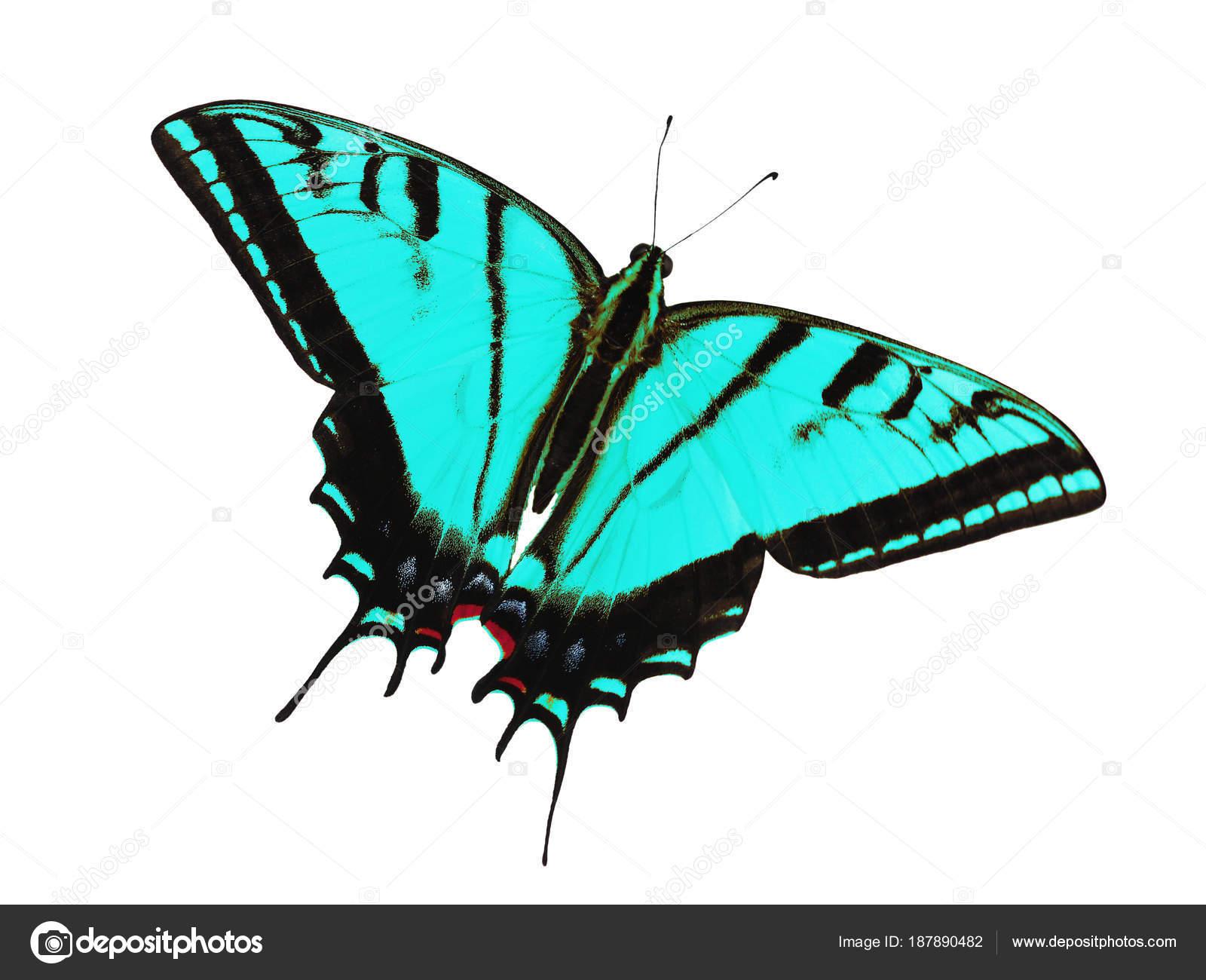 Mariposa De Swallowtail Con Dos Colas Aislado En Blanco