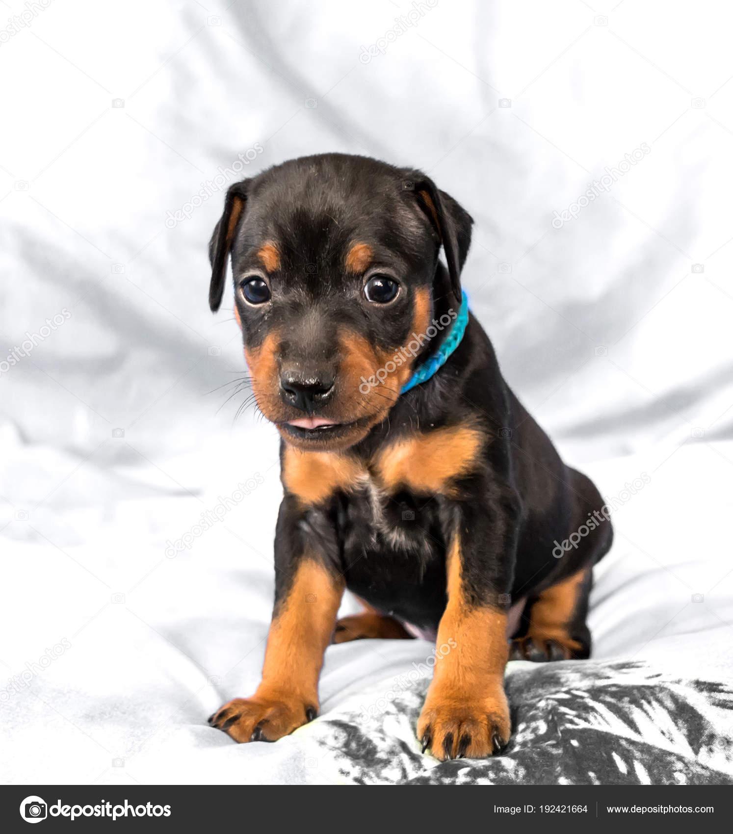 The Miniature Pinscher Puppy 1 Month Old Stock Photo C Lmaximova