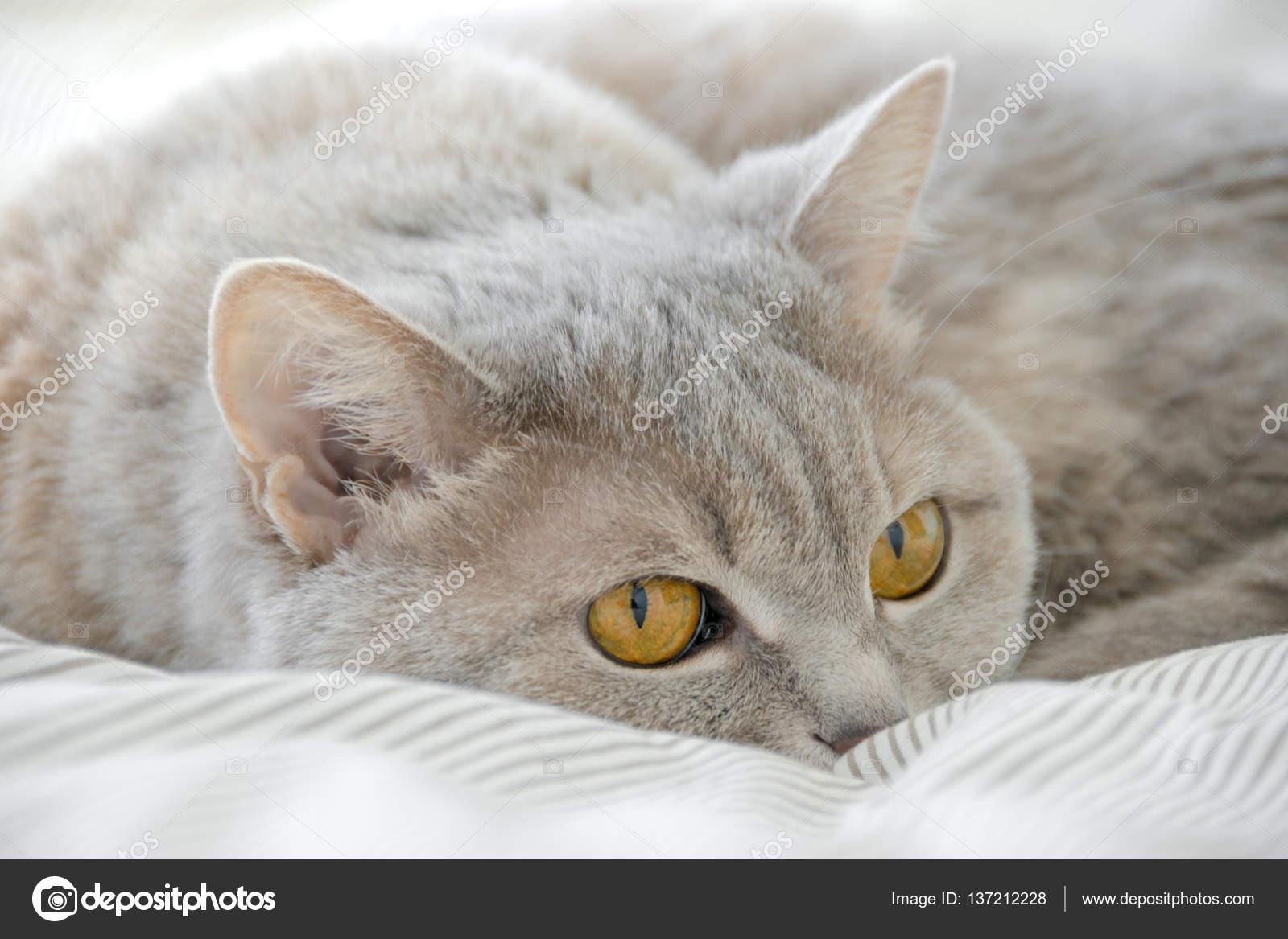 Kotka Brytyjska Shorthar Układania Na Podłodze Szary Kot Zdjęcie