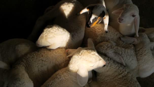 die kleinen neuen Schafe schlafen und zucken im Traum