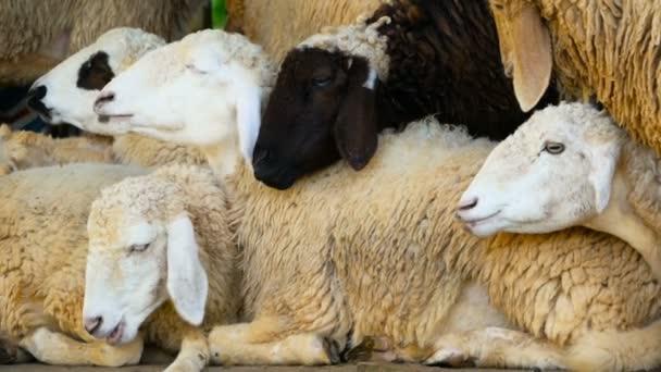 eine Schafherde ruht an einem sonnigen, schönen Tag im schattigen Maedow.
