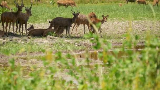 Fiatal, erős, kecses szarvas, zöld legelő zöld, lédús fűvel. Tavaszi rét aranyos állatokkal. Állattenyésztő terület a trópusi Ázsiában. Természetes lagndaschaft egy csapat hízott. Környezetvédelem