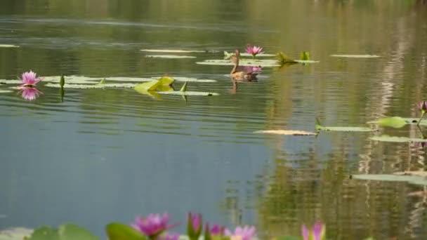 Kachny na jezeře s lekníny, růžové lotosy v ponuré vodě odrážející ptáky. Stěhovaví ptáci ve volné přírodě. Exotická tropická krajina s rybníkem. Ochrana životního prostředí, koncepce ohrožených druhů
