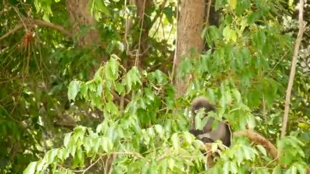 Cute spectacled leaf langur, dusky monkey on tree branch amidst green leaves in Ang Thong national park in natural habitat. Wildlife of endangered species of animals. Environment conservation concept