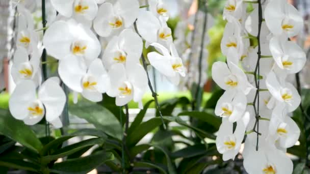 Delicate white elegant orchid flowers with yellow centers in sunlight. Close up macro of tropical petals in spring garden. Abstract natural exotic background with copy space. Floral blossom pattern.