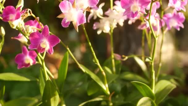 Gyönyörű lila és lila orchideák nőnek elmosódott hátterében zöld park. Zárja be a makro trópusi szirmok tavaszi kertben között napsugarak. Egzotikus finom virágos virág fénymásoló hellyel
