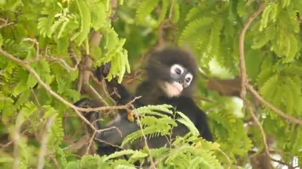 Aranyos szemüveges levél langur, sötét majom faágon között zöld levelek Ang Thong nemzeti park természetes élőhelyen. Veszélyeztetett állatfajok vadvilága. Környezetvédelmi koncepció