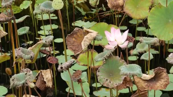 Fentről zöld sárga lótuszlevelek magas száron és magvak borús vízben. Tó, tó vagy mocsár. Buddist szimbólum. Egzotikus trópusi levelek textúra. Absztrakt természetes sötét növényzet háttér minta.