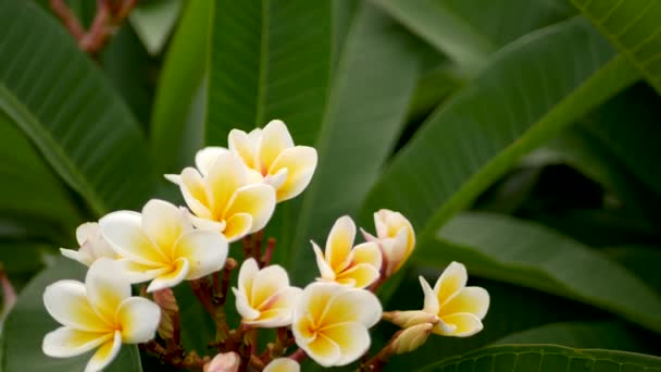 Blurred close up macro of colorful tropical flower in spring garden with tender petals among sunny lush foliage. Abstract natural exotic background with copy space. Floral blossom and leaves pattern.