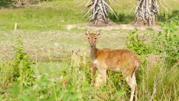 Junges kräftiges, anmutiges Reh, grüne Weide mit grünem saftigen Gras. Frühlingswiese mit niedlichen Tieren. Viehweide im tropischen Asien. Natürliche Lagndaschaft mit Rehkitz-Gruppe. Umweltschutz