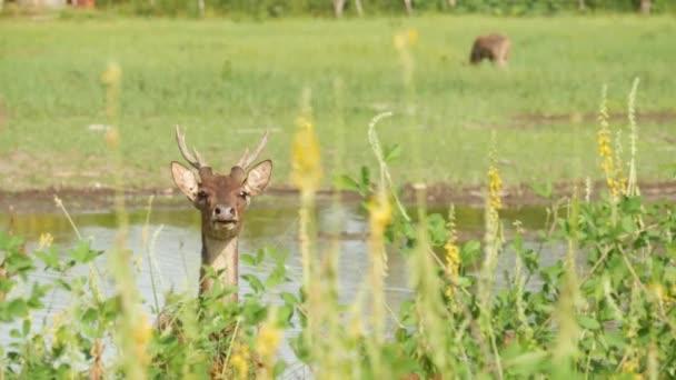 Mladý, půvabný jelen, zelená pastvina se zelenou šťavnatou trávou. Jarní louka s roztomilými zvířaty. Dobytčí pole v tropické Asii. Přirozená lagndaschaft se skupinou kolouchů. Ochrana životního prostředí