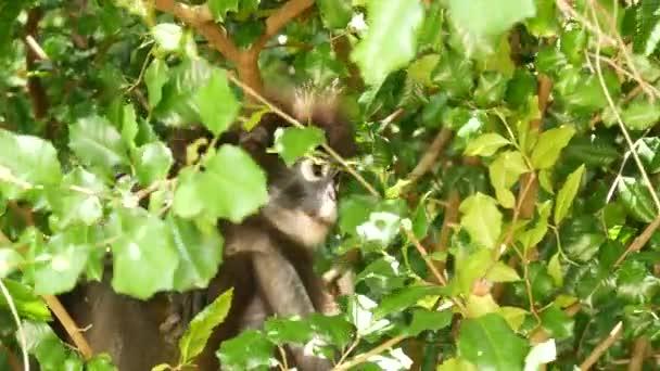 Niedliche Brillenblattaffe auf Zweigen inmitten grüner Blätter im Ang Thong Nationalpark in natürlichem Lebensraum. Wildtiere bedrohter Tierarten. Umweltschutzkonzept