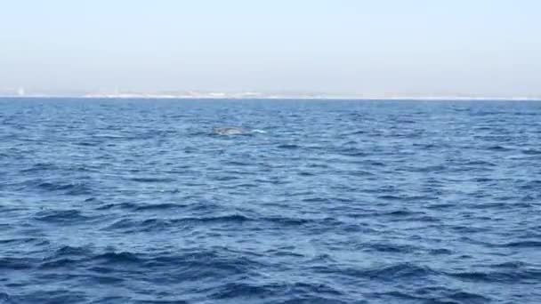 Seascape View from the boat of Grey Whale in Ocean during Whalewatching trip, California, USA. Eschrichtius robustus migrující na jih do zimní porodní laguny podél pobřeží Tichého oceánu. Mořská zvěř.