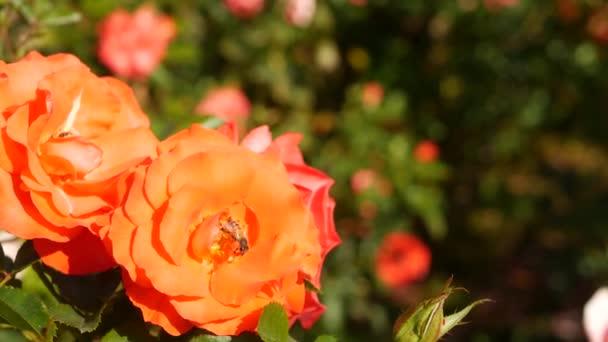 Anglická růžová zahrada. Rosarium Květinové pozadí. Květy kvetou, včela sbírá pyl. Detailní záběr růžence květinové záhonky. Kvetoucí keř, selektivní zaměření s hmyzem a jemnými okvětními lístky.