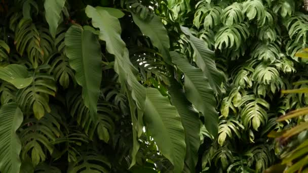 Saftige exotische tropische Monstera hinterlässt Textur Hintergrund, Kopierraum. Saftiges Laub, Grün im Paradiesgarten. Abstrakte natürliche dunkelgrüne Dschungelvegetation Hintergrundmuster, wilder Sommer Regenwald.