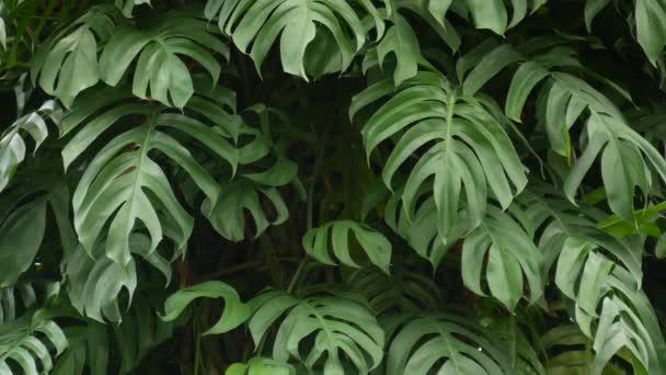 Šťavnaté exotické tropické monstrum zanechává texturu na pozadí, kopírovací prostor. Bujné listí, zeleň v rajské zahradě. Abstraktní přírodní tmavě zelená džungle vegetace pozadí vzor, divoké letní deštný prales.