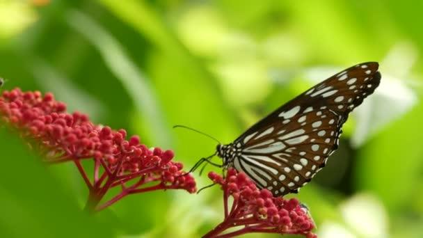 Tropický exotický motýl v pralesním deštném pralese sedící na zelených listech, makro zblízka. Jarní ráj, svěží listoví přírodní zázemí, rozostřená zeleň v lese. Čerstvé slunné romantické zahrady
