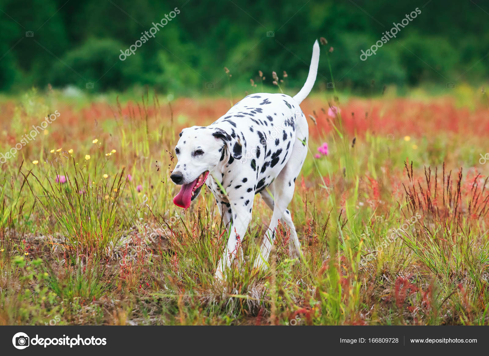 Cute Dog Running On Field Stock Photo C Art2435 166809728