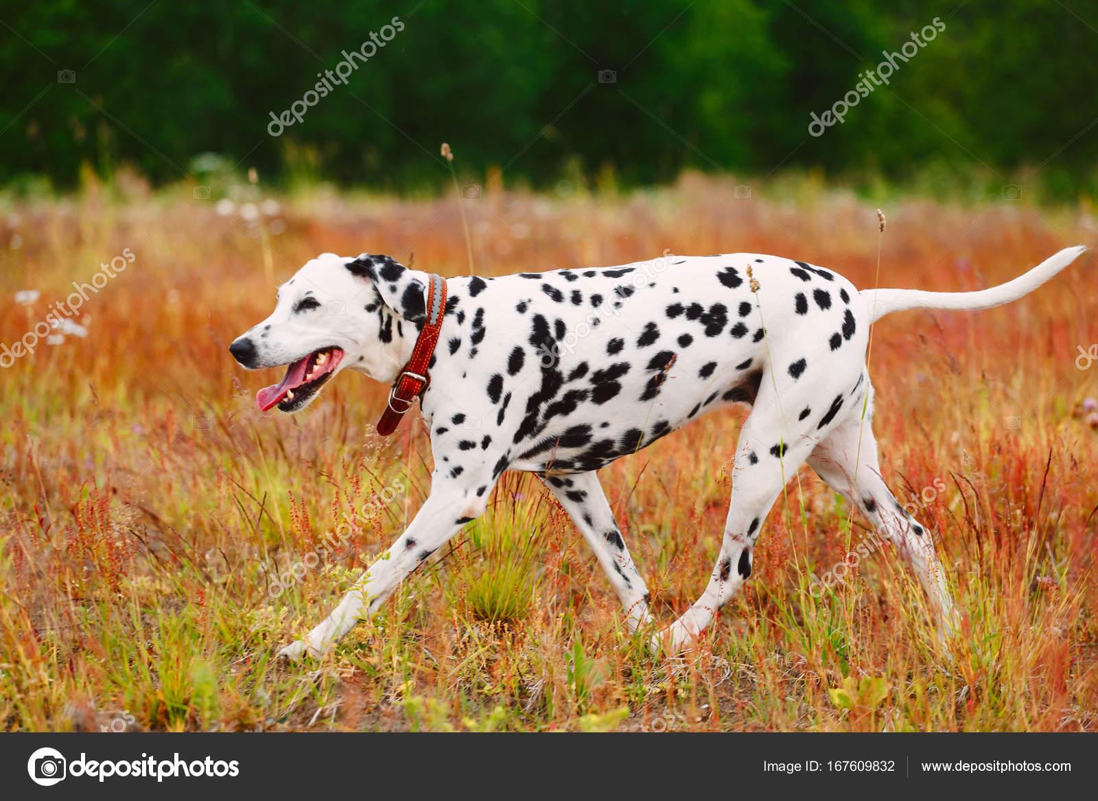 Cute Dog Running On Field Stock Photo C Art2435 167609832