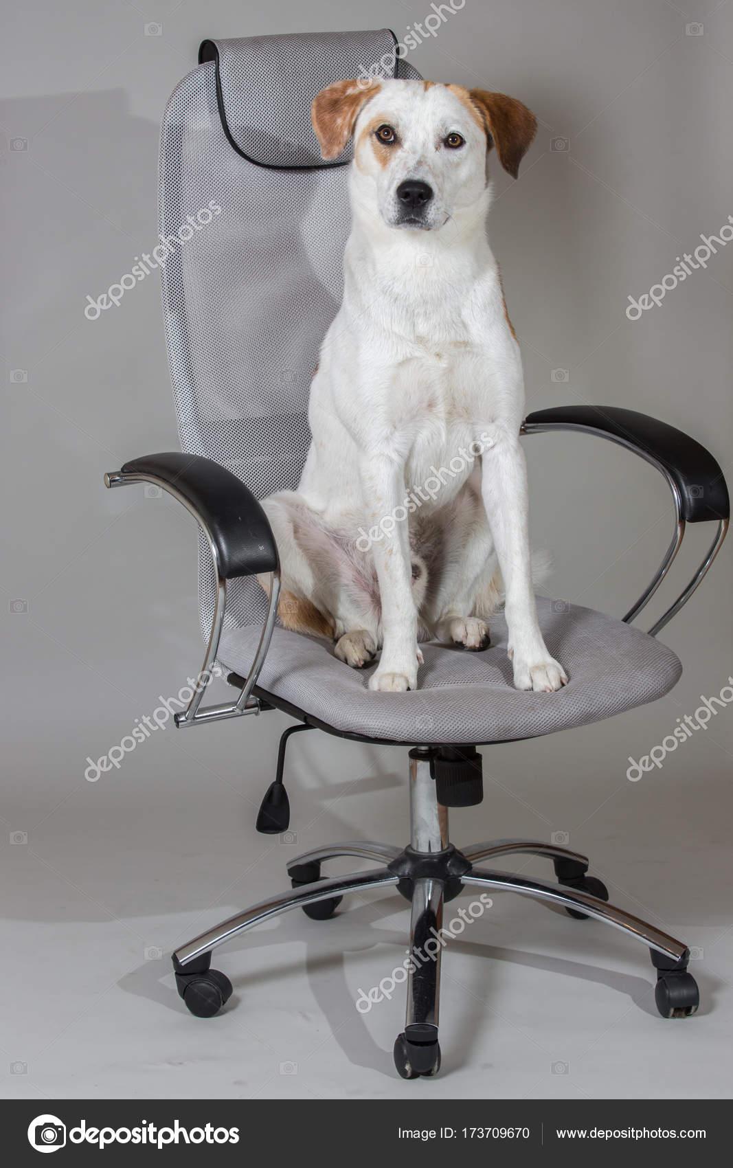 Pelo Corto De Raza Mixta Perro Blanco Sentado En La Silla
