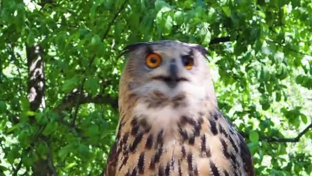 Zblízka záběry sovy orlí. Sova s oranžovýma očima. Faraónova tvář orlí sovy.