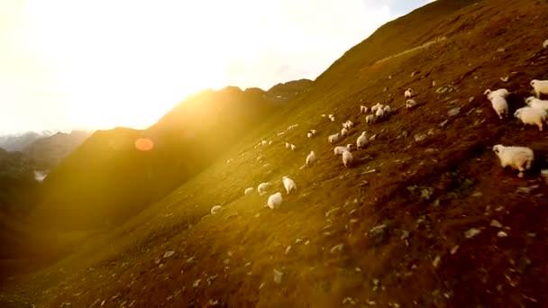 stádo ovcí skupiny bílé ovce stáda zvířat letecký pohled na krajinu