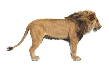 Lion animal african, side view