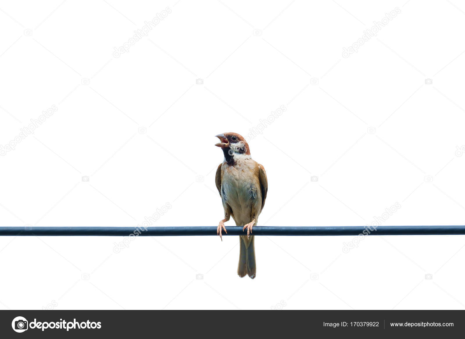 Eurasian tree sparrow, bird, on the wire with isolated white ...