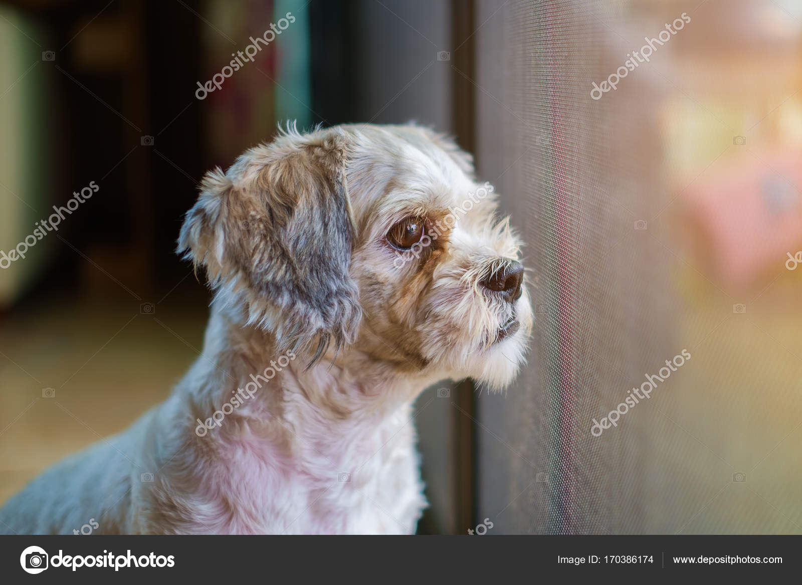 Short Hair White Shih Tzu Dog Looking For Something At The Door