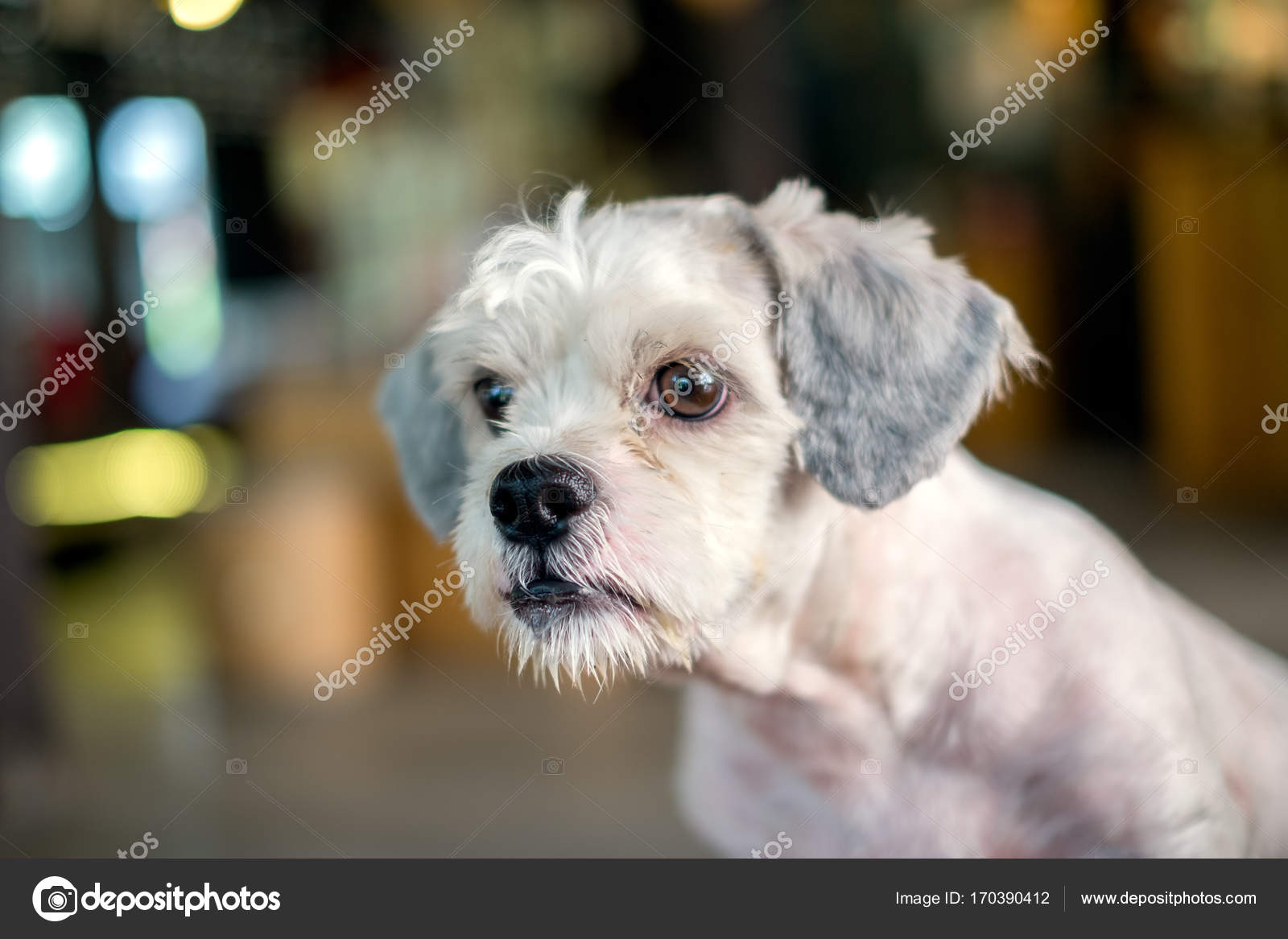 Short Hair White Shih Tzu Dog Gaze At Something With Blurred