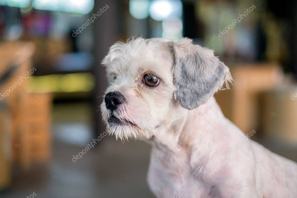 shih tzu short hair styles hair white shih tzu gaze at something with 7037 | depositphotos 170390298 stock photo short hair white shih tzu