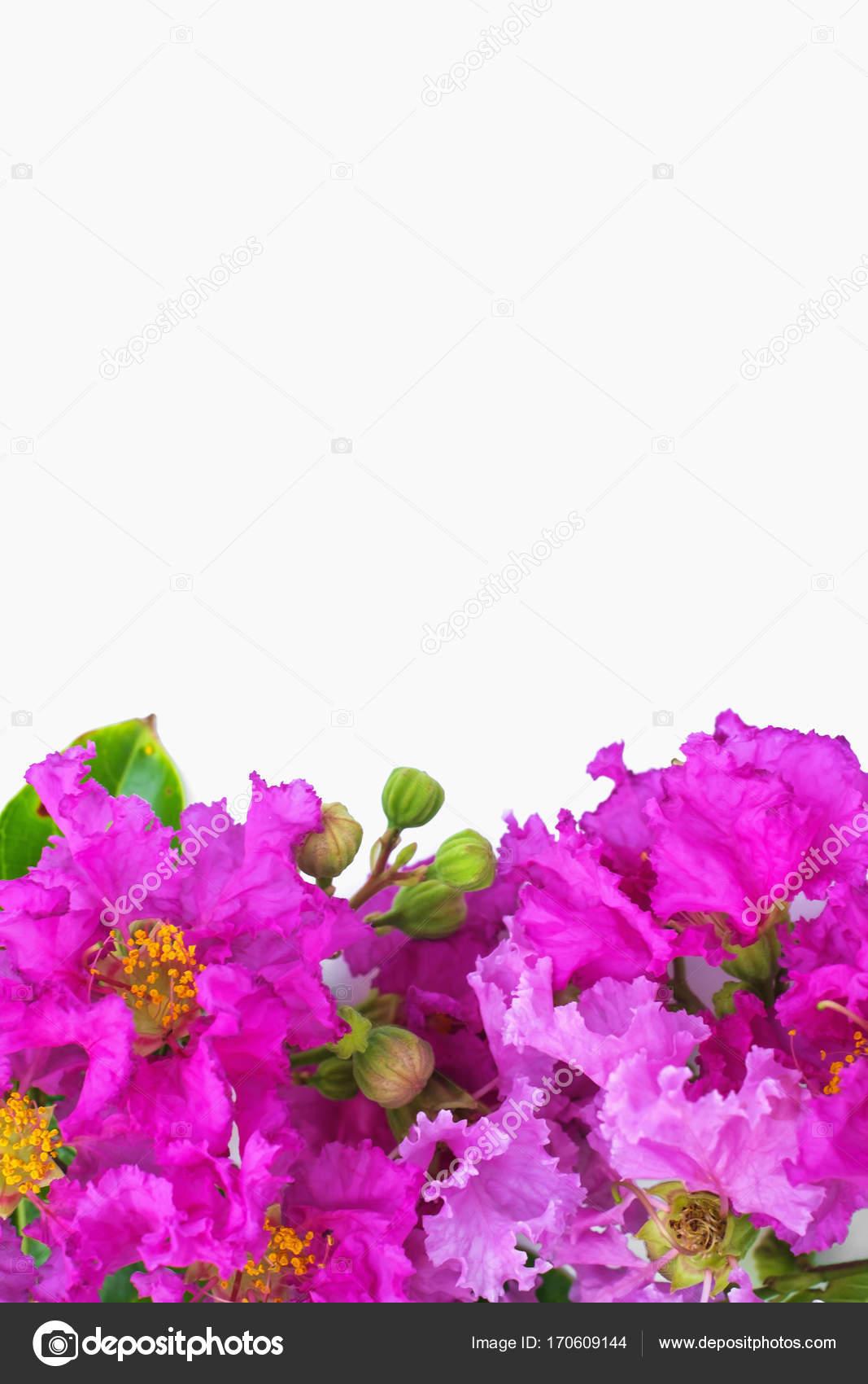 Lagerstroemia Speciosa Pride Of India Beautiful Purple Flowers On