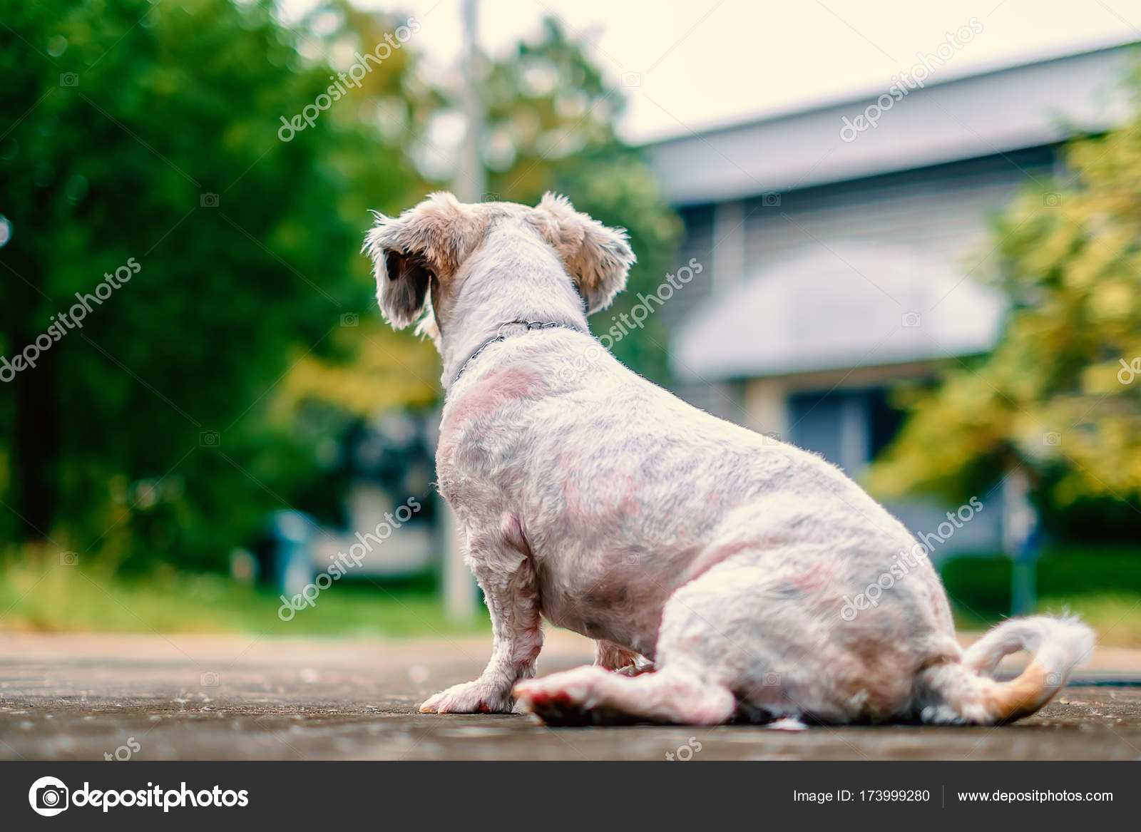 Short Hair White Shih Tzu Dog Sitting Down On The Road And Looking
