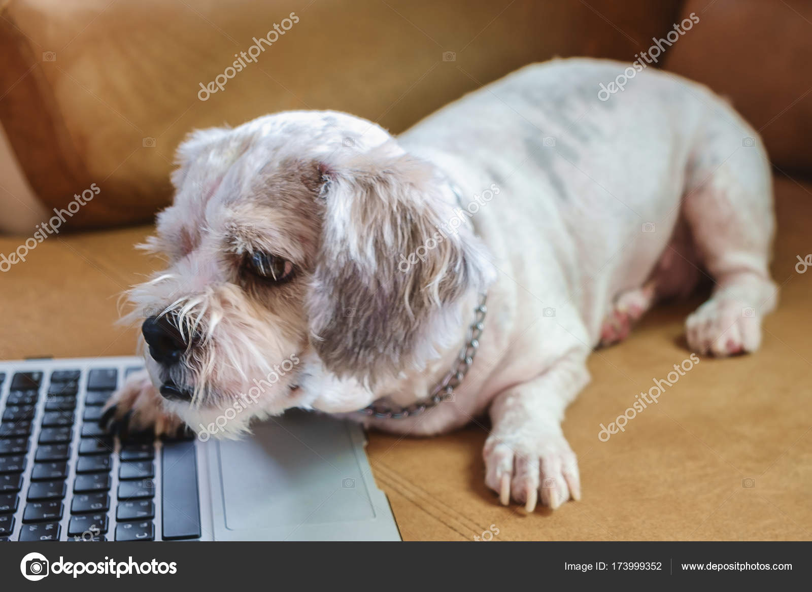 White Short Hair Shih Tzu Dog With Computer Laptop On Sofa