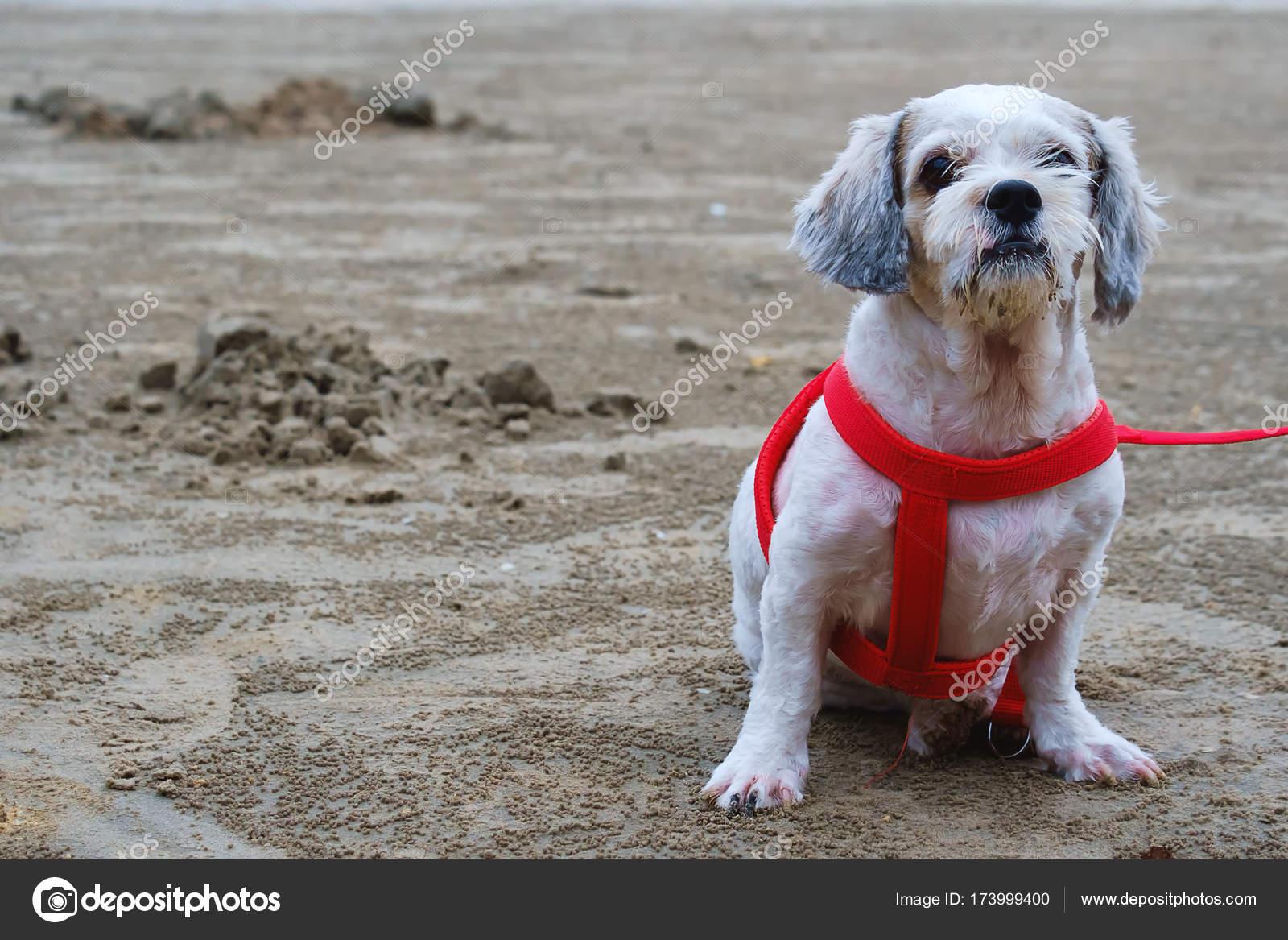 White Short Hair Shih Tzu Dog Sitting On The Beach Stock Photo